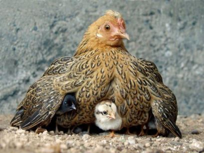 mother hen is it safe yet