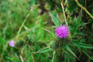 Weeds Purple