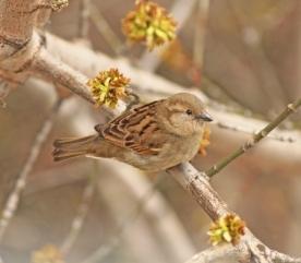 15501306 - closeup grey sparrow sitting on a branch