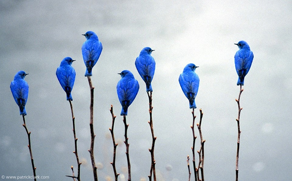 This image has an empty alt attribute; its file name is blue-birds.jpg